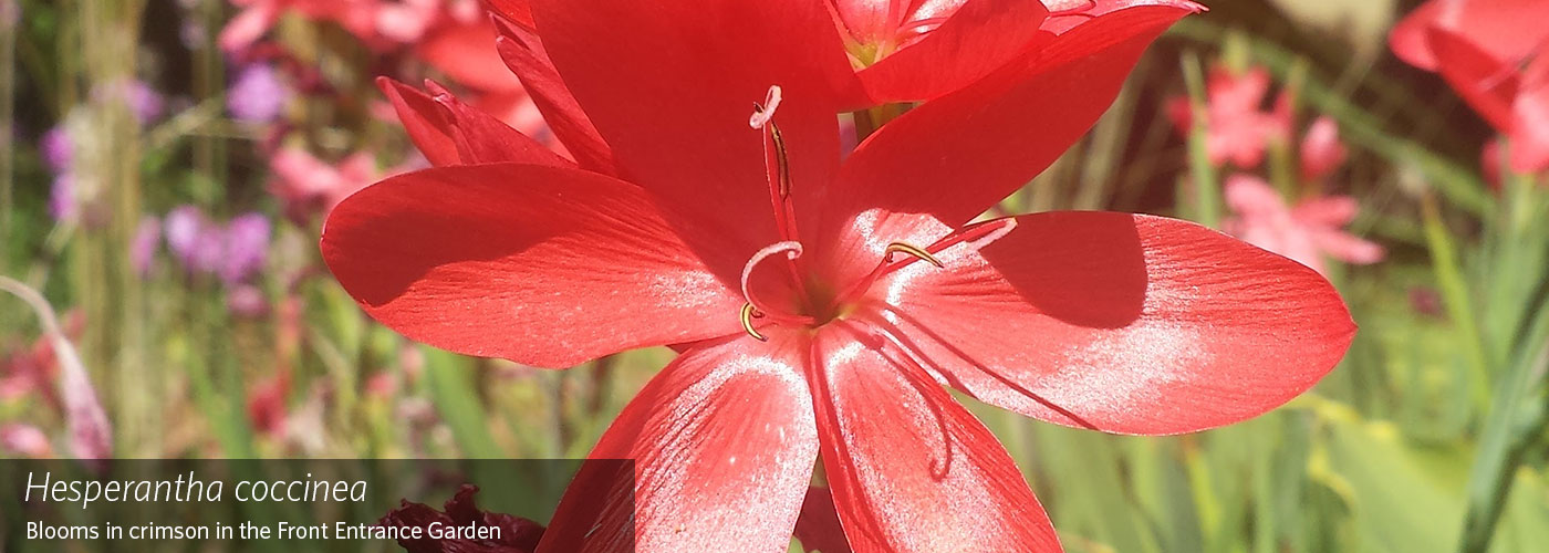 homepage-feature-photo_Hesperantha-coccinea_1400x500