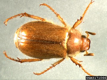 Adult European chafer beetle, (Image courtesy of Mike Reding & Betsy Anderson, USDA Agricultural Research Service, Bugwood.org)
