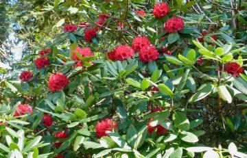 Rhododendron 'Cornubia'