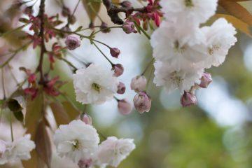Tealeaves x UBC Botanical Garden – A Curated Sakura Experience in the Garden