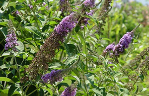 The Low Down on Invasive Plants – Green Thumb News