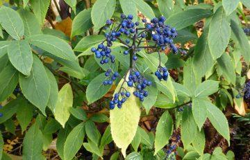 Hydrangea (Dichroa) febrifuga