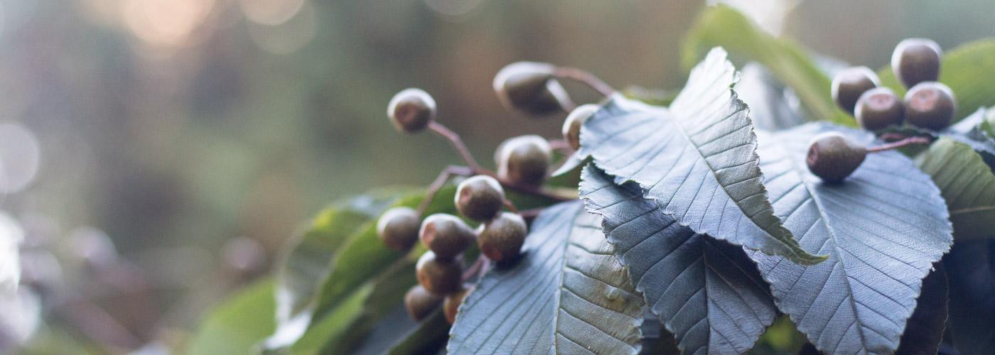 Sorbus caloneura