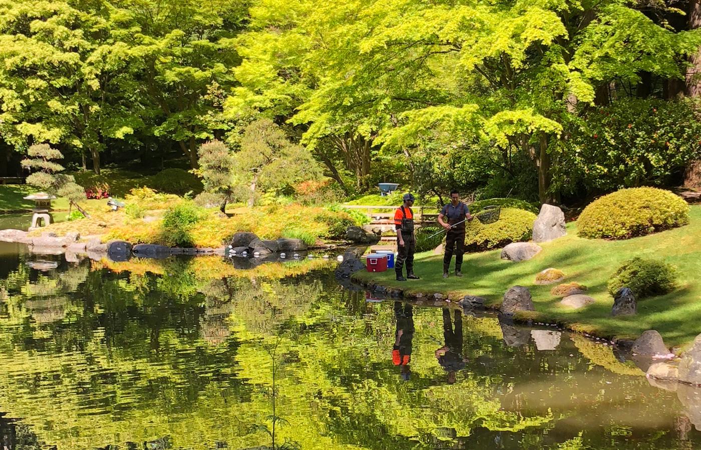 Nitobe Memorial Garden donates koi to Dr. Sun Yat-Sen Classical Chinese Garden